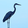 On Display -- Great Blue Heron in Hilton Head