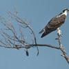 Osprey off Daufuskie Island, SC