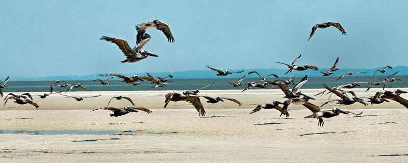 Flying Shadows - Pelicans on Hilton Head Island