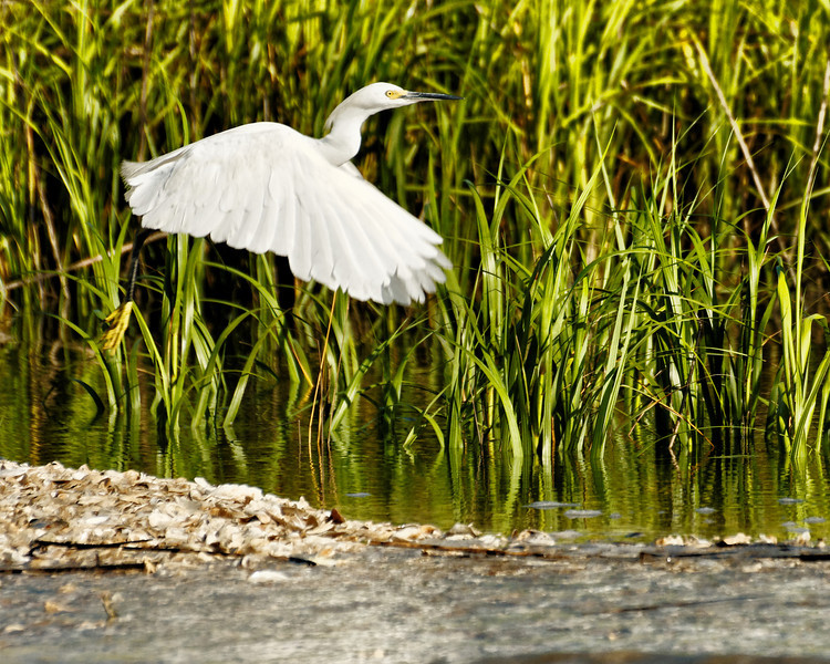 Snowy Egret Departing