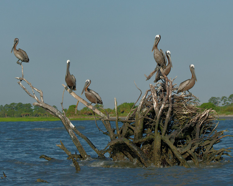It Must Be The Shoes!  Pelicans in Calibogue Sound