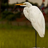 On a Pedestal - Egret