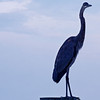 On The Lookout - Blue Heron in Hilton Head