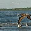 Pelican Envy