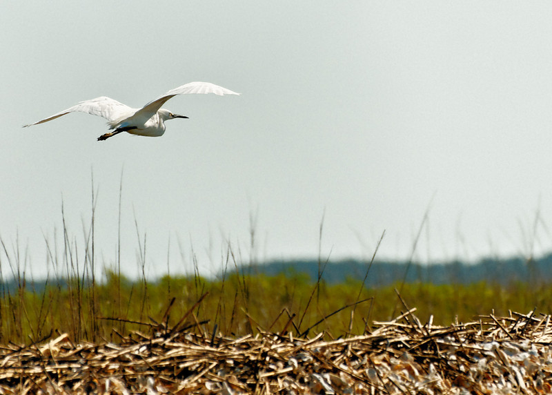 Snowy Egret Flying - Off Daufuskie Island, SC
