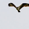 Osprey on patrol - Lake Jordan