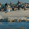Troubled Waters -  White Pelican and Brown Pelicans on Tomkins Island