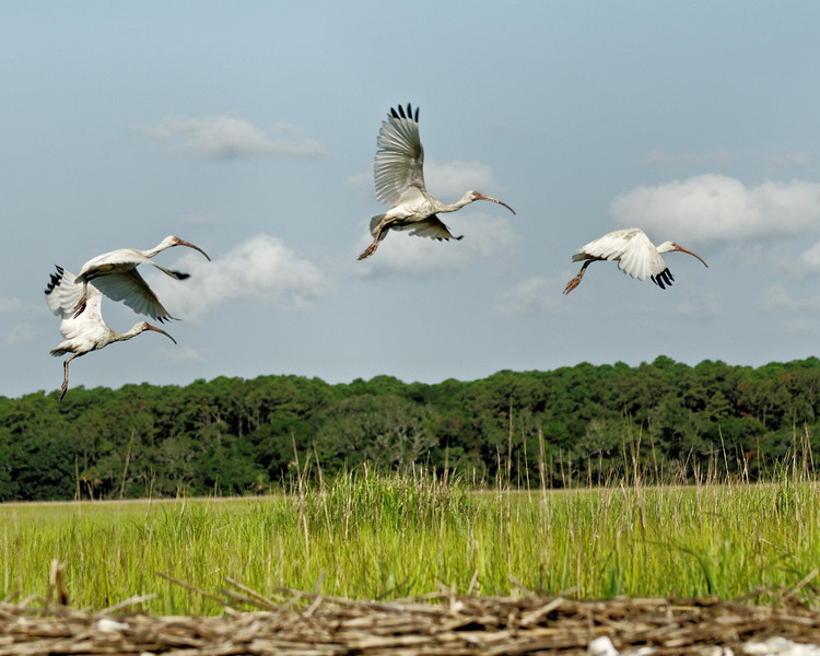 Juvenile Ibises in Flight Training