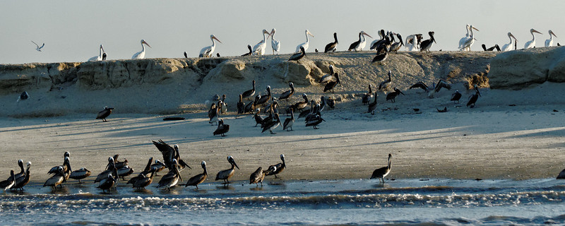 Birds of a feather - Brown and White :Pelicans on Tomkins Island