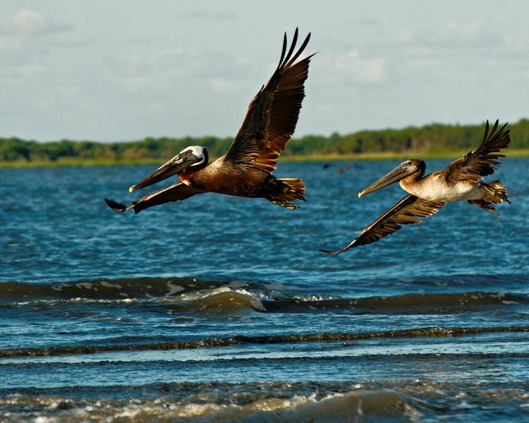 Pelicans in Flight V