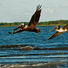 Pelicans in Flight V