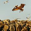 Pelican Landing - Tomkins Island