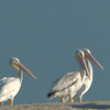 White Pelicans - Tomkins Island