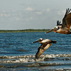 Pelicans in Flight VI