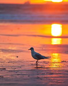 Seagul at sunset
