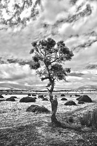 Lone tree, Preseli Hills, Pembrokeshire