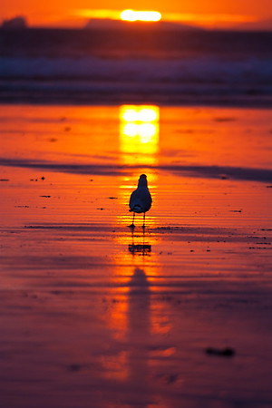 Seagul at sunset, Broadhaven beach
