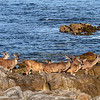 Deer on beach at Asilomar PG