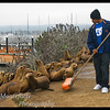 Keeping Sea Lions from spilling over into the pedestrian area of the breakwater in Monterey California.