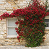 Bougainvillea Vine againt Carmel Stone wall in Monterey California