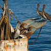 Pelicans on old fishing boat, Monterey Ca.