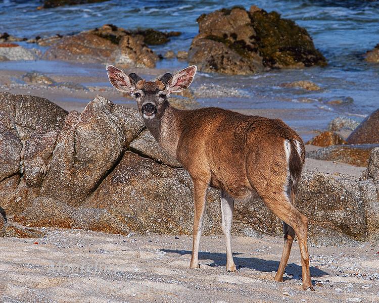 Deer on beach at Asilomar PG