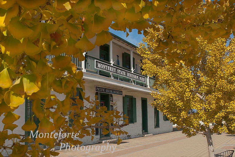 Ginko trees in the Custom House Plaza, Monterey California.