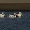Rare White Pelicans