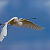 Great Egret returning to the nest.