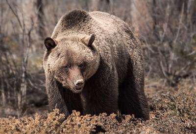 Grizzly bear near Jonas Creek (Jasper National Park). Appeared in Calgary Stampede Western Showcase 2013