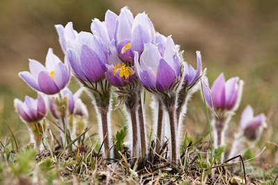 A large group of Prairie Crocus (Anemone patens) near Turner Valley, AB.