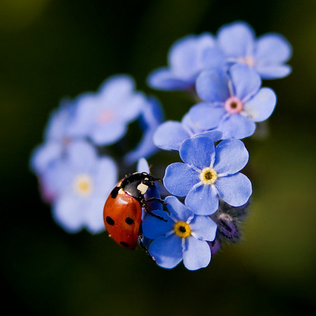 Lady bug on a bunch of Forget-Me-Not flowers.  Along the fence line of a pasture SW from Turner Valley, AB.