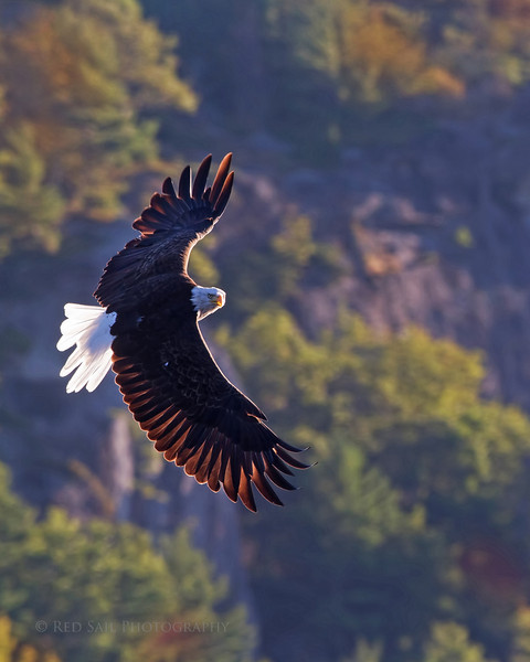 """Our resident Bald Eagle """"Emily"""" glides with the sun in her face allowing the light to show through her feathers. She circles my kayak posing from all different angles..."""
