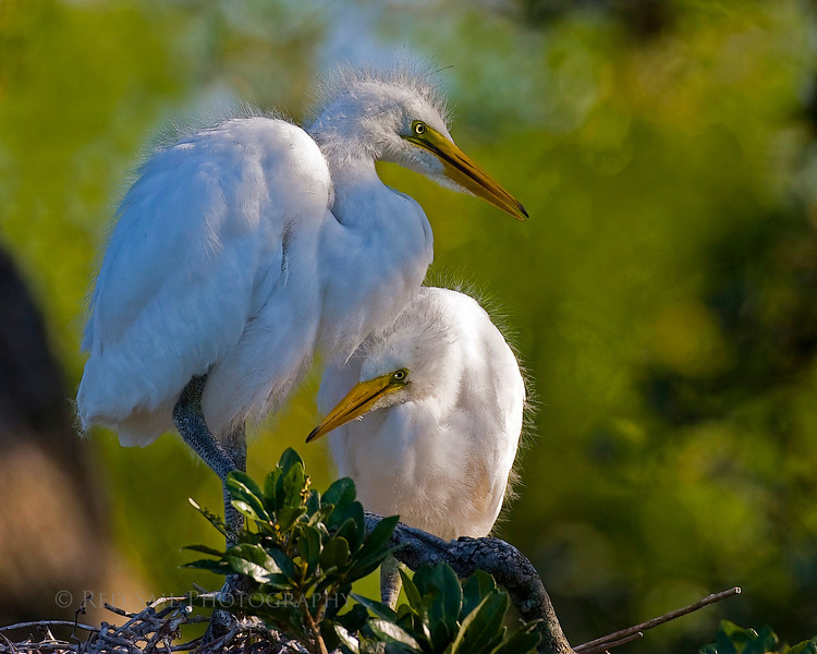 Sisters 4 etching. Young great egrets.