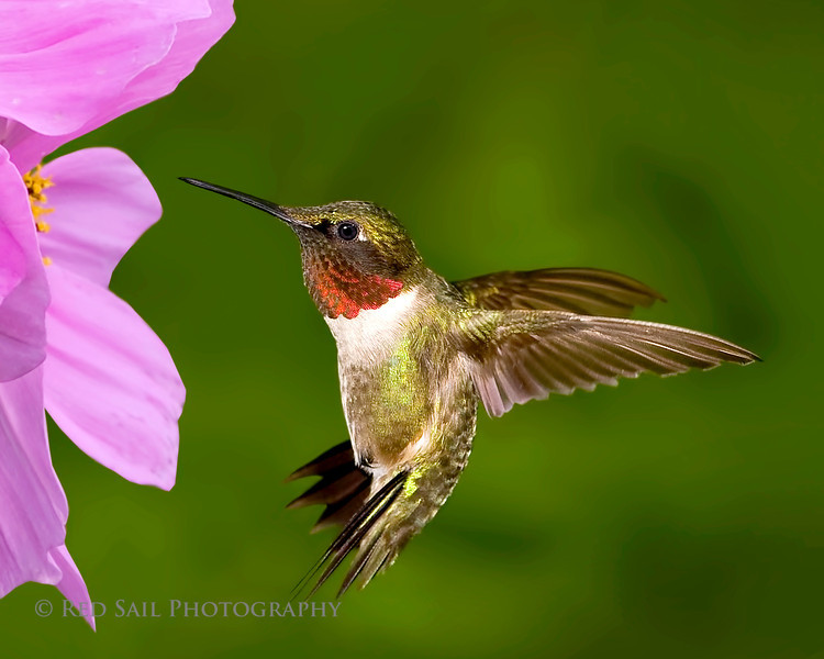 Ruby-throated Hummingbird..