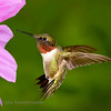Ruby-throated Hummingbird..