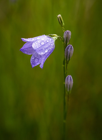 "Harebell image created by focus-stacking 3 images for increased depth of field, while maintaining a pleasantly blurred background. I learned about this technique by following postings on the ""Nature Photographers Network"" (http://www.naturephotographers.net/enter.html)."