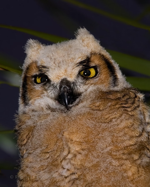 """Ernie Portrait""... Baby Great Horned Owl. Image taken in the wild."