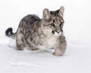 Young cougar cub experiencing it's first snow. Captive - Montana.  Appeared in Calgary Stampede Western Showcase 2013