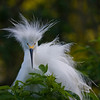 Bad Hair Day.. Snowy Egret (Egretta thula). This image was taken at the St. Augustine Alligator Farm.