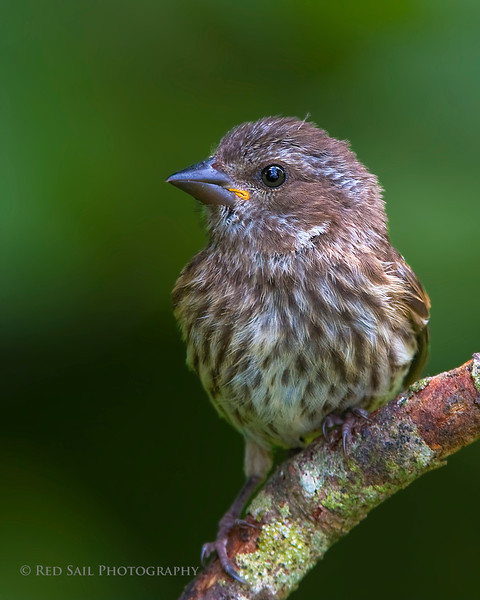 Portrait of a female Purple Finch. Image taken at Fields Pond in Holden, Maine.