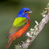The Male Painted Bunting..