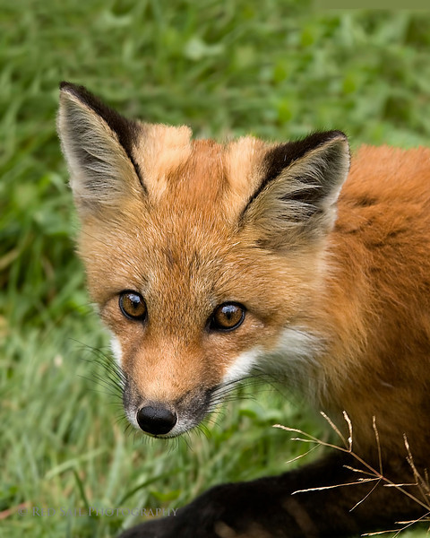 Red Fox Portrait..