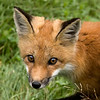 Red Fox Portrait..