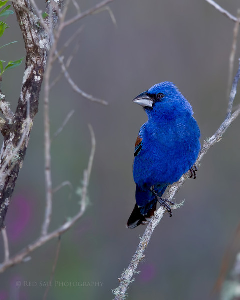 The Blue Grosbeak, male.