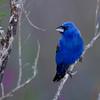 The Blue Grosbeak, male.