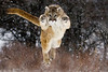 Leaping cougar!!! Captive - Montana. Has appeared several times in the Western Showcase Gallery at Calgary Stampede