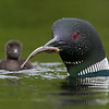Common Loon with baby..