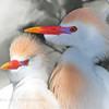 """Cattle Egrets in White"" (Bubulcus ibis)"