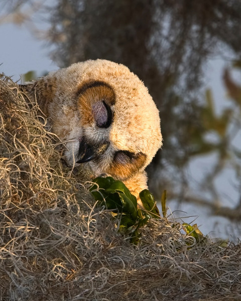 """""""Sleeeep""""  Ernie, the youngest of the two Great Horned Owls, finally falls to sleep after a busy night of flying."""